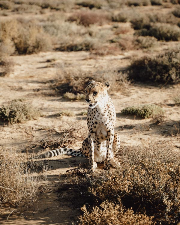 cheetah rehabilitation inverdoorn